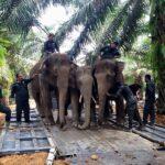 ALAMAK! Gajah yang ada di Semenanjung Malaysia cuma tinggal 1000